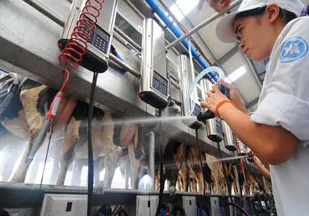 Hệ thống vắt sữa tự động tại trang trại bò sữa Vinamilk tại Nghệ An.
