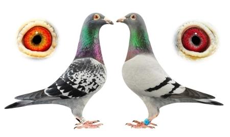Thú chơi chim bồ câu đang ngày một thịnh hành tại Trung Quốc. Ảnh: Telegraph.