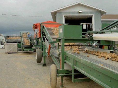 Khoai tây được đưa lên một dây chuyền để loại bỏ đất, đá.