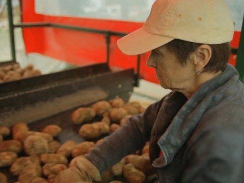 Cuối dây chuyền, một người công nhân xử lý nốt những đất, đá còn sót lại, đồng thời loại bỏ các củ khoai tây hỏng.