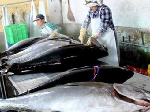 Sơ chế cá ngừ đại dương . Ảnh minh họa: TTXVN