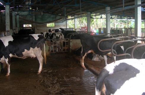 Làm giàu từ mô hình nuôi bò sữa