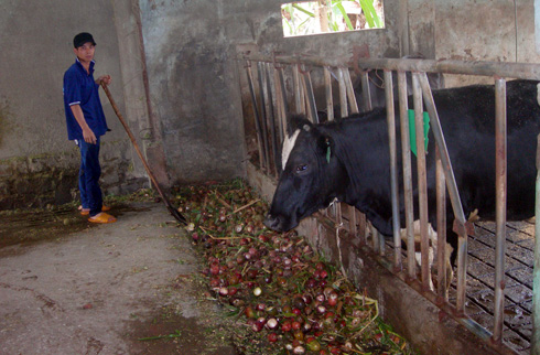 Các phế phẩm được tận dụng làm thức ăn cho bò