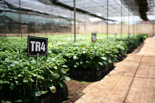 Mỗi năm NESCAFÉ Plan hỗ trợ 4 triệu cây giống cho năng suất cao, kháng bệnh cho bà con nông dân.