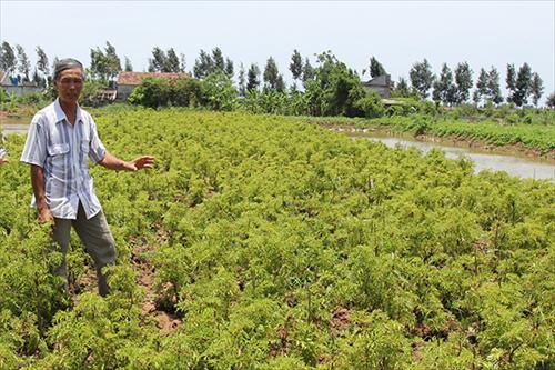 Làm giàu nhờ trồng đinh lăng ở Nam Định
