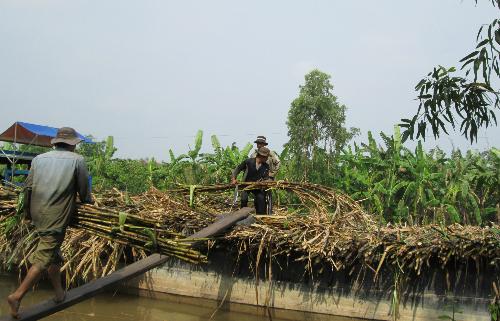 Người trồng mía điêu đứng dù giá đường cao bậc nhất thế giới