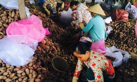 Giải cứu khoai lang bị thương lái Trung Quốc ép giá