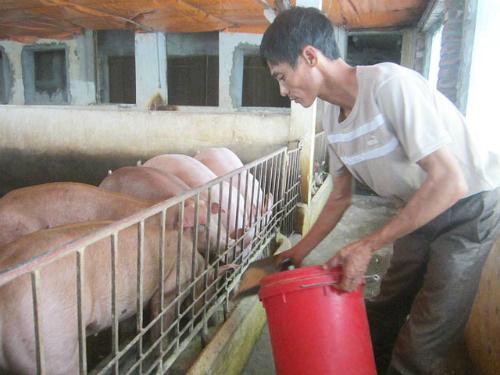 chuyen0 1 9494 1441510564 Mô hình nuôi lợn bằng thuốc bắc lãi trăm triệu mỗi tháng
