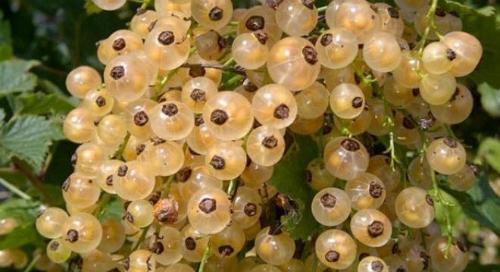 Những trái cây giá rẻ về Việt Nam hóa đắt đỏ 1