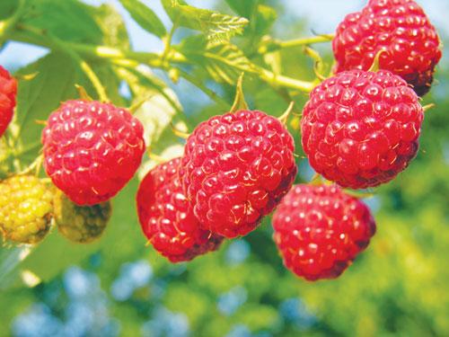 Những trái cây giá rẻ về Việt Nam hóa đắt đỏ 2