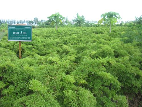Cây đinh lăng - vị thuốc quý cho người Việt