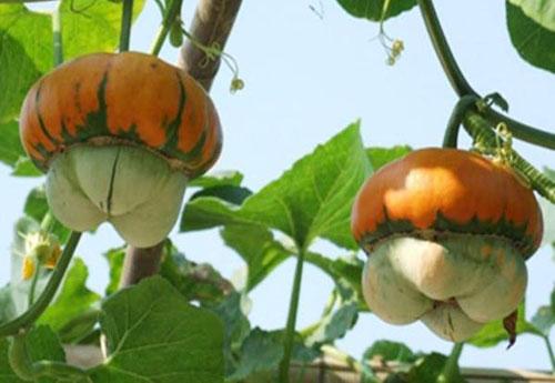 Giống rau quả lạ được săn đón sớm cho dịp Tết 4