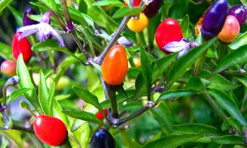 Giống rau quả lạ được săn đón sớm cho dịp Tết