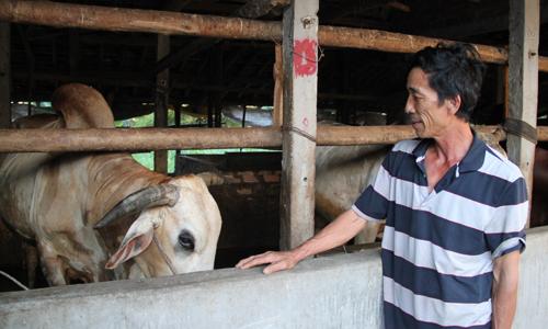 bo final 5014 1447733726 Mô hình nuôi bò vỗ béo thu lãi trăm triệu mỗi năm