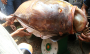 Những loại cá bán đắt 'như vàng' ở Việt Nam