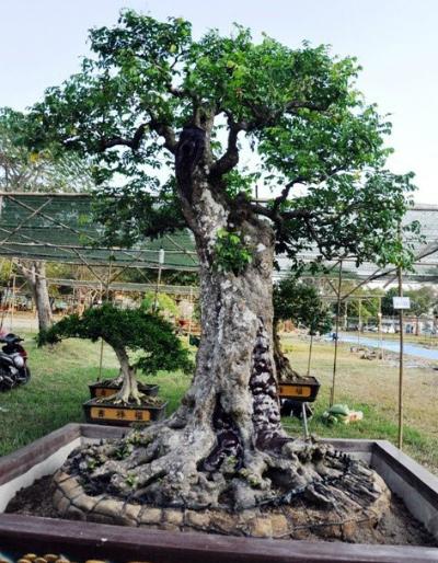 Cặp khế trên 100 tuổi giá hơn 1,2 tỷ đồng ở Sài Gòn