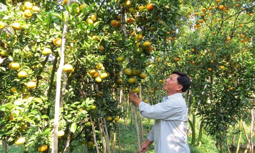 Người trồng quýt hồng Lai Vung lỗ nặng vì bị ép giá
