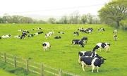 Đại gia Việt đua nuôi bò