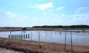 Người nuôi tôm Cà Mau thiệt hại khoảng 260 tỷ đồng
