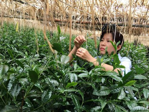 Chị Nguyễn Thanh Nhung thăm các vườn chè của đối tác tại Nhật.