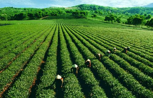 Vietnam's tea export prices half of world's average