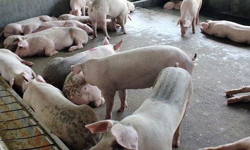 'Lợn Kobe' 300.000 đồng một kg