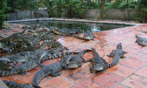 Cá sấu thịt rớt giá kỷ lục