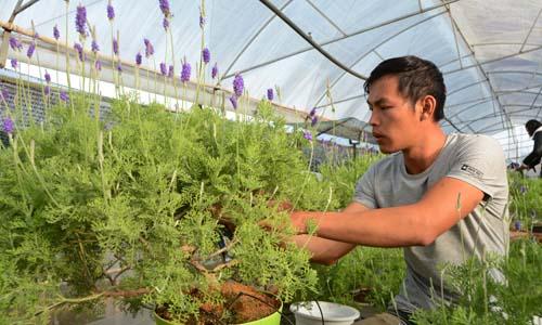 bonsai-lavender-doc-dao-choi-tet-1