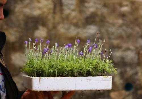bonsai-lavender-doc-dao-choi-tet