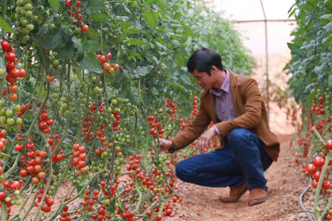 Vườn cà chua, dâu công nghệ cao trĩu quả ở Đà Lạt