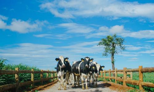 Những cô bò trên trang trại Organic Đà Lạt  trang trại bò sữa đạt tiêu chuẩn organic châu Âu đầu tiên tại VN.