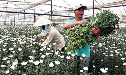 Thu hoạch hoa cúc chất lượng cao Đà Lạt. Ảnh: Báo Lâm Đồng