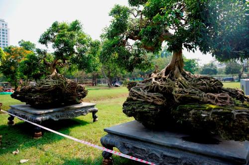 Tuy nhiên, nổi bật và thu hút khách tham quan hơn cả làcặpsanh có bộ rễ hình kim quy mọc trên đá,giá khoảng 4 tỷ đồng.
