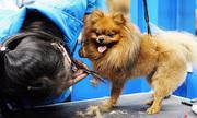 Chi tiền triệu cho cún cưng đi spa, nghỉ dưỡng ngày Tết