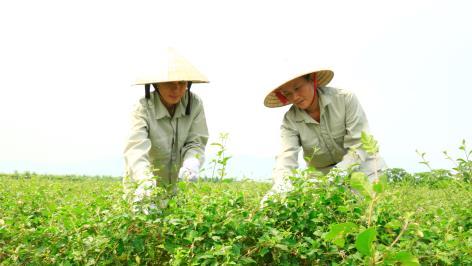 Trồng cây dược liệu thu trăm triệu đồng mỗi ha