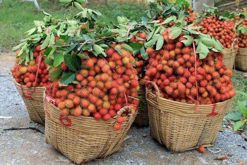 Những quả chôm chôm trồng tại Bến Tre.Ảnh: Văn Phong.