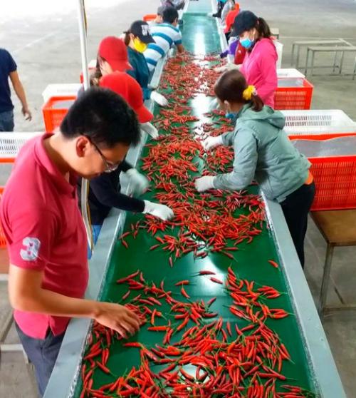 Trồng ớt mang về cho Bầu Đức mỗi tháng hơn 30 tỷ đồng