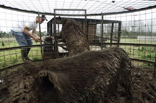 Người dân Texas đánh bẫy lợn rừng.