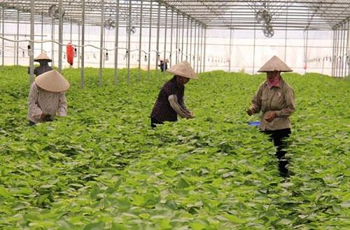 Là mặt hàng bình dân ở Việt Nam nhưng lá tía tô tại thị trường Nhật Bản có giá 500-700 đồng/lá, chủ yếu được các nhà hàng nhập về để chế biến gỏi hải sản. Công ty cổ phần Tập đoàn May Hồ Gươm - đơn vị xuất khẩu lô hàng lá tía tô đầu tiên của Việt Nam sang Nhật cho biết, một hécta trồng tía tô sẽ cho thu hoạch khoảng 17-18 triệu lá, doanh thu tầm 2.5 tỷ đồng.