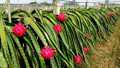 Để đáp ứng điều kiện xuất khẩu, thanh long phải được thu mua từ vùng trồng tuân thủ sản xuất nông nghiệp tốt, được Cục Bảo vệ Thực vật cấp mã số quản lý và xử lý hơi nước nóng trước khi xuất sang thị trường nước ngoài.