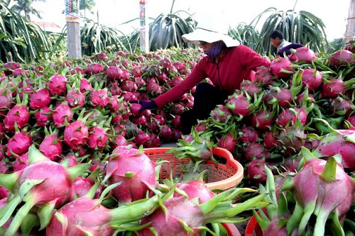 Nếu như ở trong nước, thanh long có những lúc rớt giá xuống chỉ còn 2.000 đồng/ kg thì hiện giá bán lẻ của mặt hàng này tại Nhật là 180.000-200.000 đồng/ kg. Thanh long hiện là mặt hàng trái cây chủ lực của Việt Nam, được xuất khẩu tới 40 quốc gia và vùng lãnh thổ.