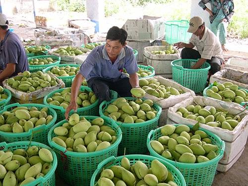 Diện tích trồng xoài của cả nước khoảng 87.000 ha, sản lượng hơn 969.000 tấn/năm (năm 2016). Các thị trường xuất khẩu xoài chính hiện nay của Việt Nam là Hàn Quốc, Nhật Bản và Sigapore. Giá trị xuất khẩu và giá trị gia tăng của mặt hàng này đang có chiều hướng cải thiện vì các thị trường nhập khẩu đã chấp nhận giá cao