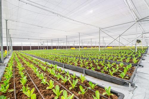 VinEco Nam Hội An cũng triển khai các mô hình canh tác ngoài đồng ruộng, được quy hoạch bài bản nhằm phát huy tối đa lợi thế của hình thức này trong việc canh tác các loại nông sản truyền thống.