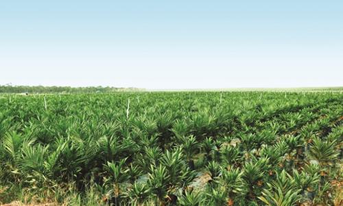 Hoàng Anh Gia Lai dừng mảng cọ dầu, dồn lực trồng cây ăn trái