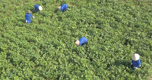 Những cây đậu nành ở xã Thành Lợi - Vụ Bản - Nam Định được chăm sóc có quy trình khắt khe theo tiêu chuẩn GACP-WHO (là một vài tiêu chuẩn, tiêu chuẩn thực hành tốt trồng trọt và thu hái dược liệu theo khuyến cáo của Tổ chức y tế thế giới WHO).