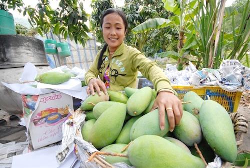 Quả xoài Việt sắp vào thị trường Mỹ