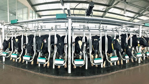Đàn bò A2 trong quy trình sản xuất sữa A2 của Vinamilk tại Việt Nam.