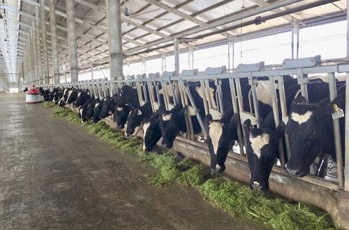 Bò A2 nhập khẩu từ New Zealand có chứng nhận thuần chủng, đang được nuôi dưỡng tại trang trại Thống Nhất, Thanh Hóa.