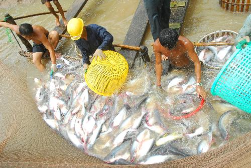 Thu hoạch cá tra ở Đồng bằng sông Cửu Long. Ảnh: Phạm Vũ