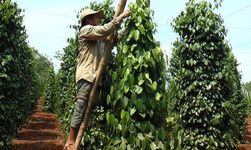 Nông dân trồng hồ tiêu. Ảnh: Dân Việt